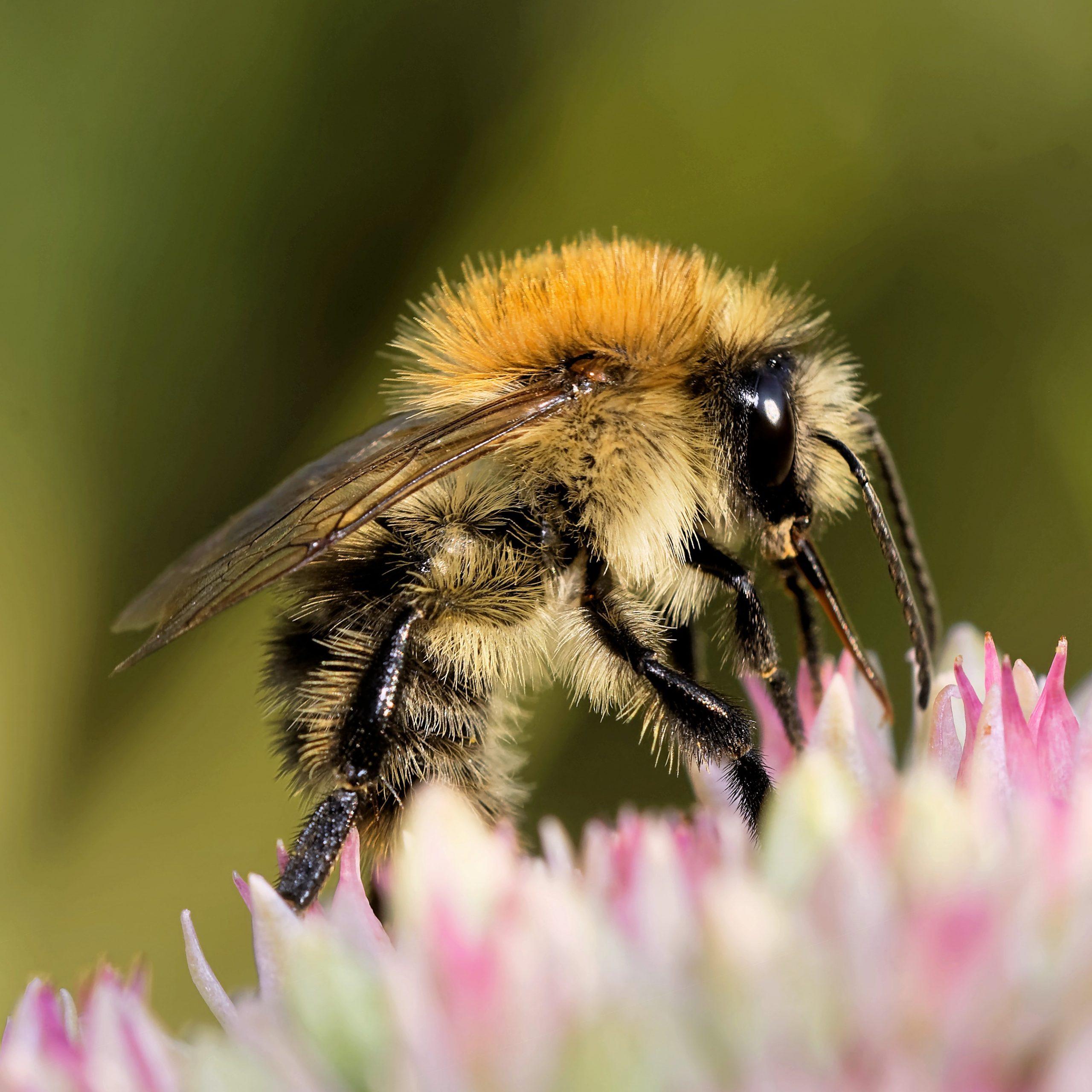 Bienen und Hummeln beziehen die meisten Nährstoffe aus dem Nektar und den Pollen von Blüten