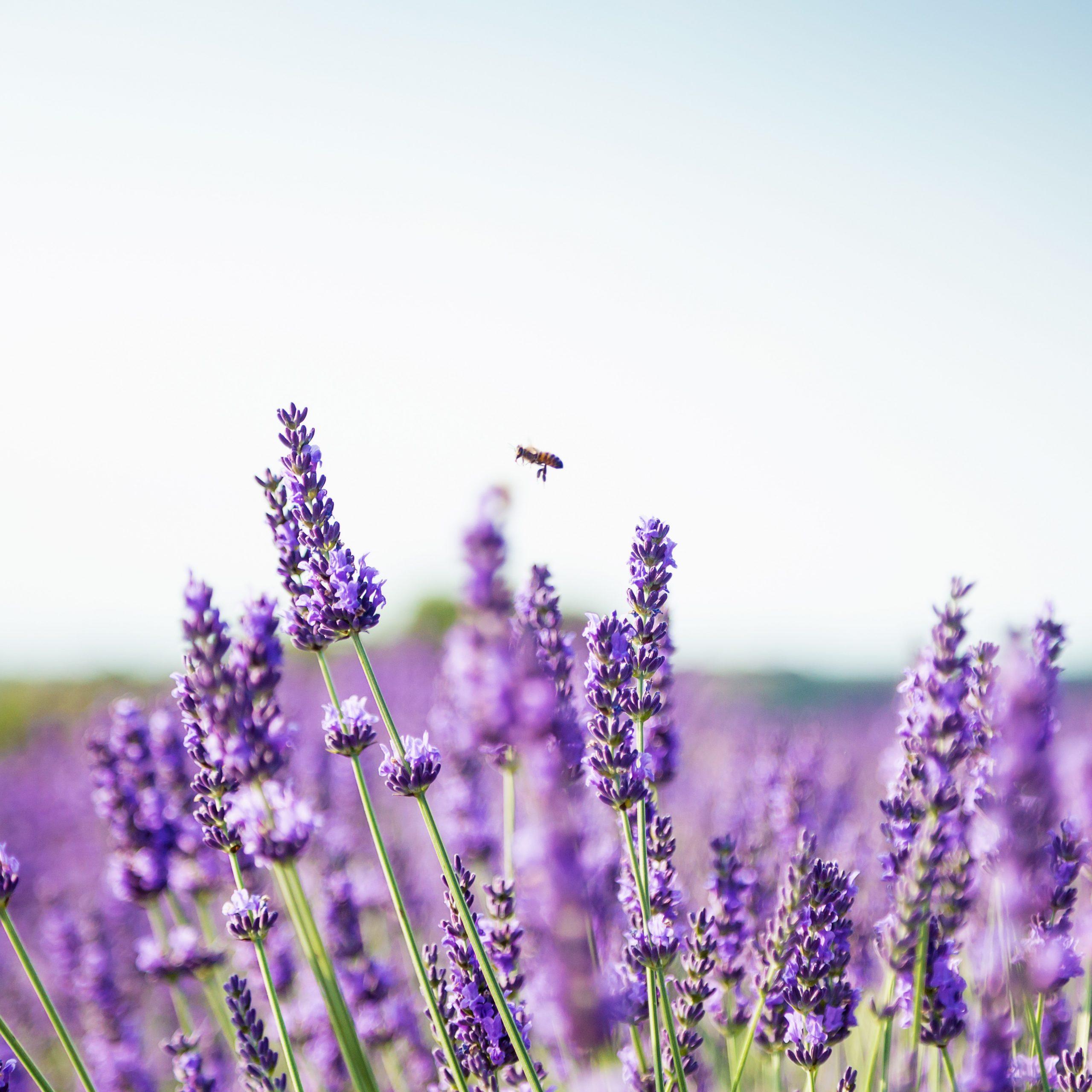 Lavendelfeld mit Biene