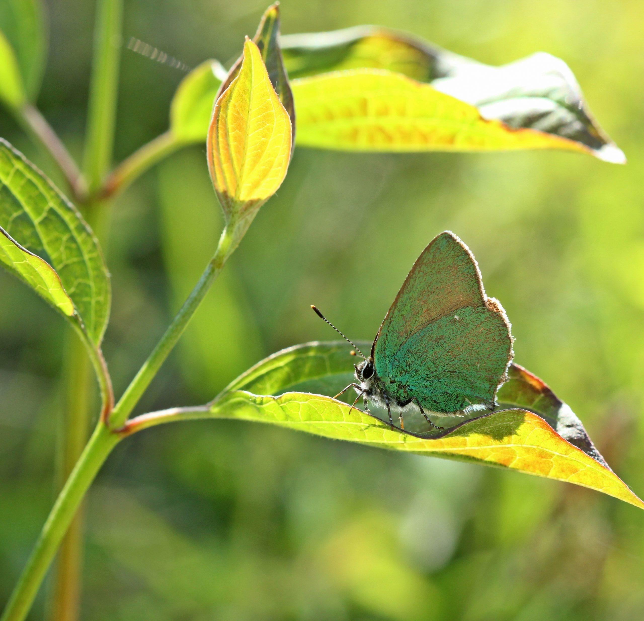Der grüne Zipfelfalter kann sich durch seine Farbe gut auf Blättern und im Gras tarnen