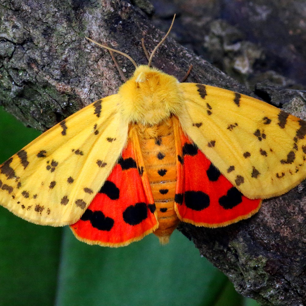 Der Purpurbär (Rhyparia purpurata), der auf der Roten Liste steht, wurde auf dem Biohof nachgewiesen