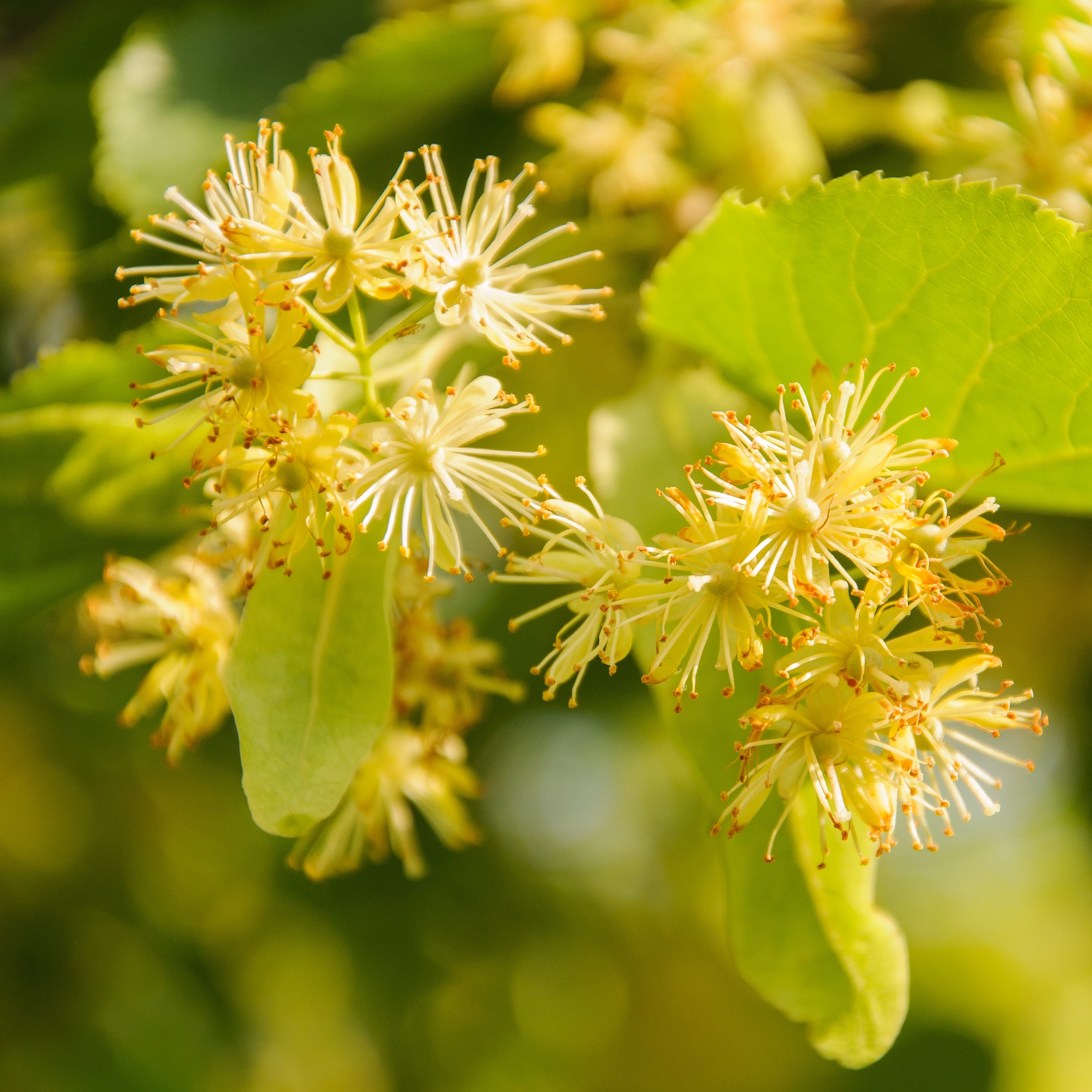 Lindenblüten findet man an der Sommerlinde (Tilia platyphyllos) und der Winterlinde (Tilia cordata)