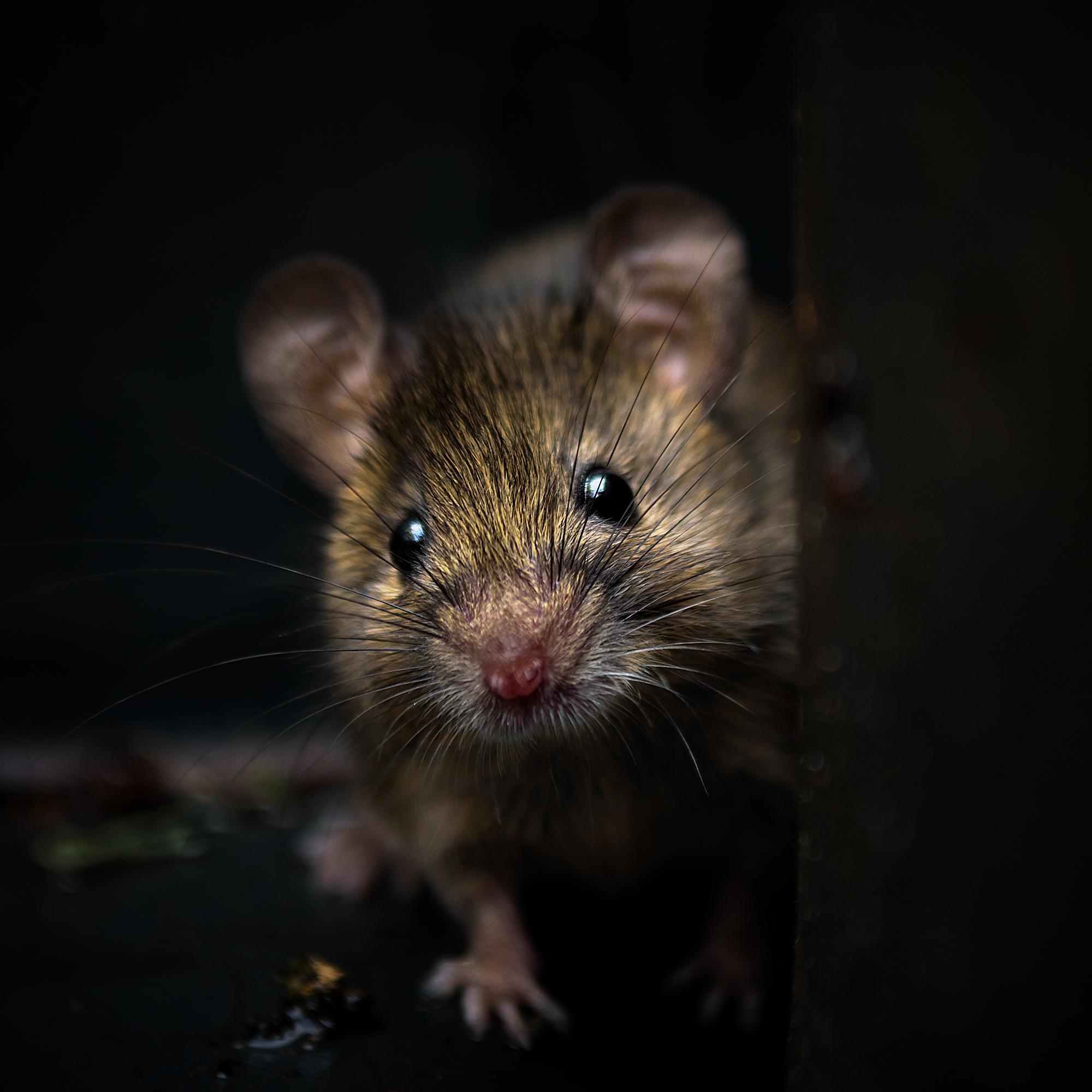 Bei Mäusen nimmt die optische Qualität der Netzhaut im ersten Monat nach der Geburt zu, wodurch sie selbst in der Dunkelheit sehen können