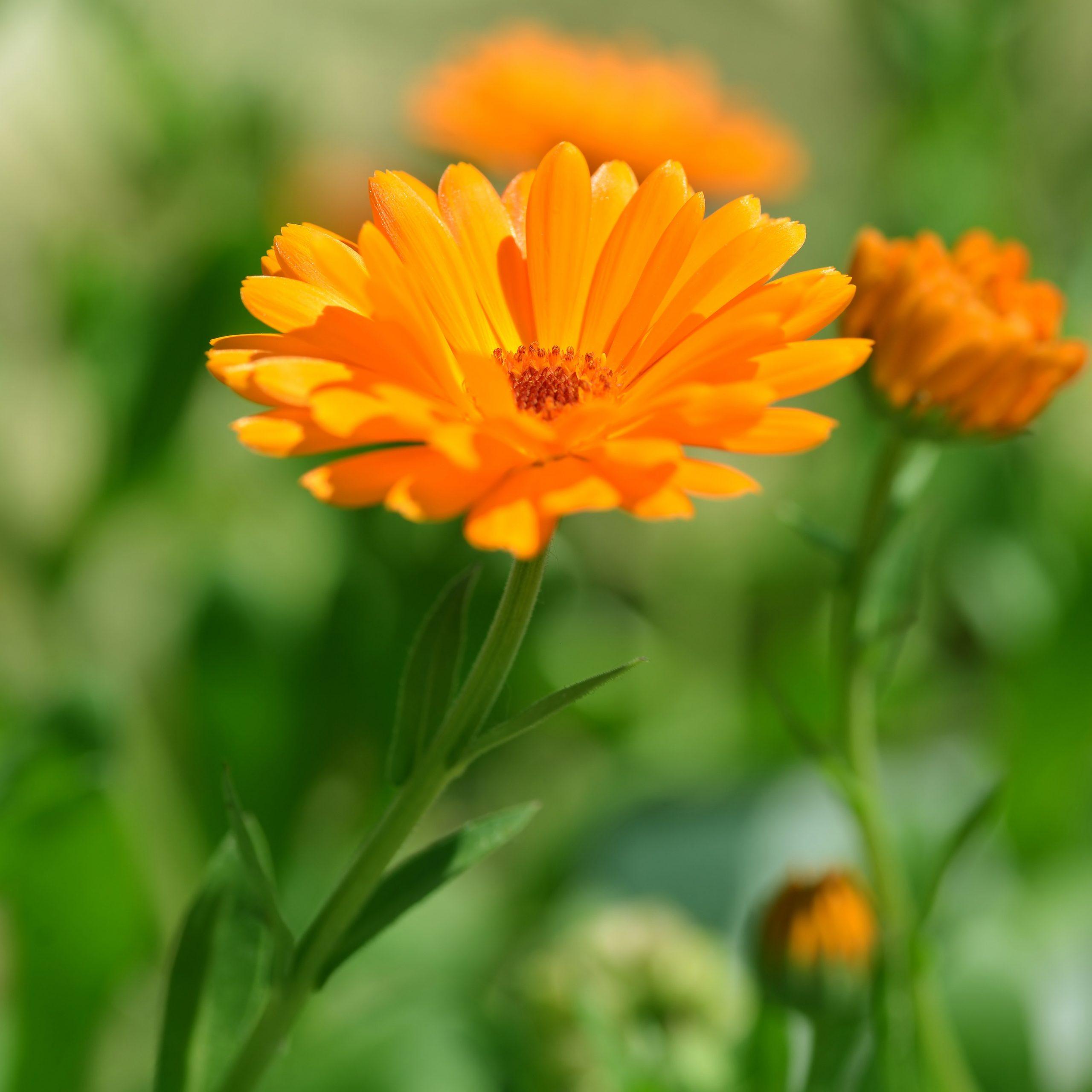 Unter den zehn wichtigsten Heilpflanzen kennt man vor allem eine – Calendula, die Ringelblume – aus dem heimischen Garten.