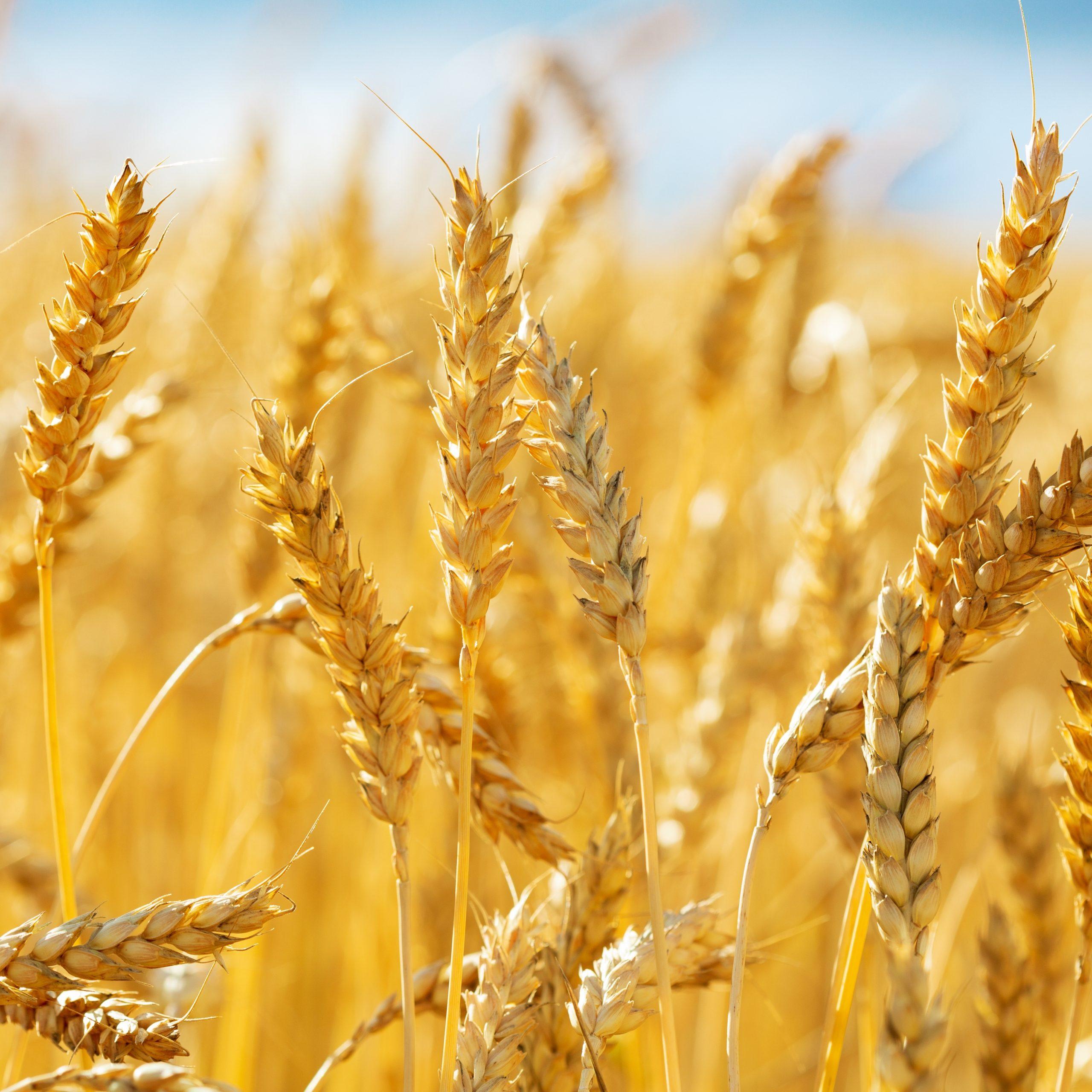 Zöliakie ist eine Autoimmunerkrankung, die durch eine Reaktion auf Gluten verursacht wird, einem Protein, das u. a.a in Weizen vorkommt.