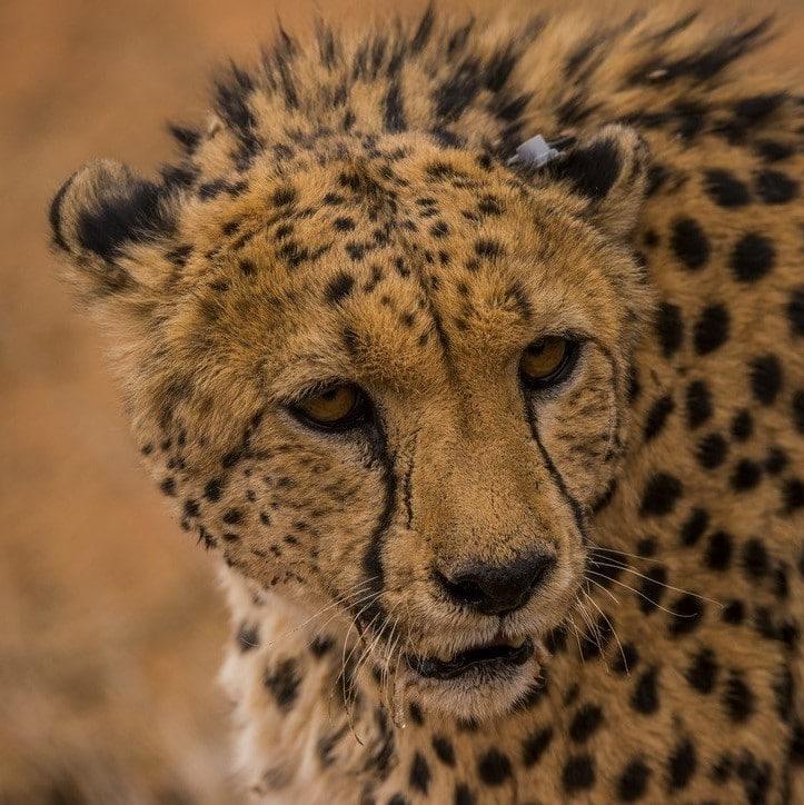 Gepard mit Mini-Sensor