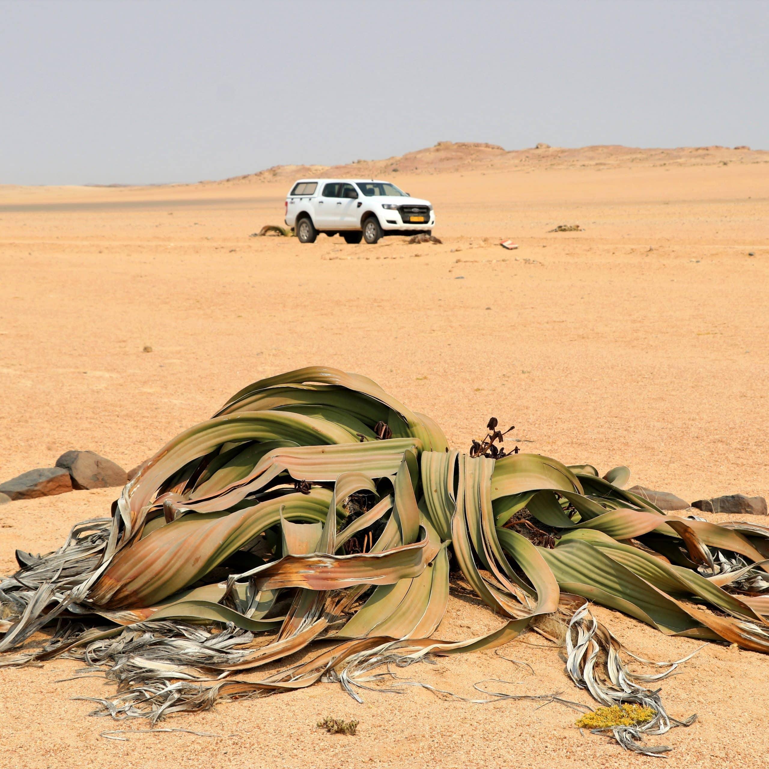 Die Wüstenpflanze Welwitschie kann über 1.000 Jahre alt werden