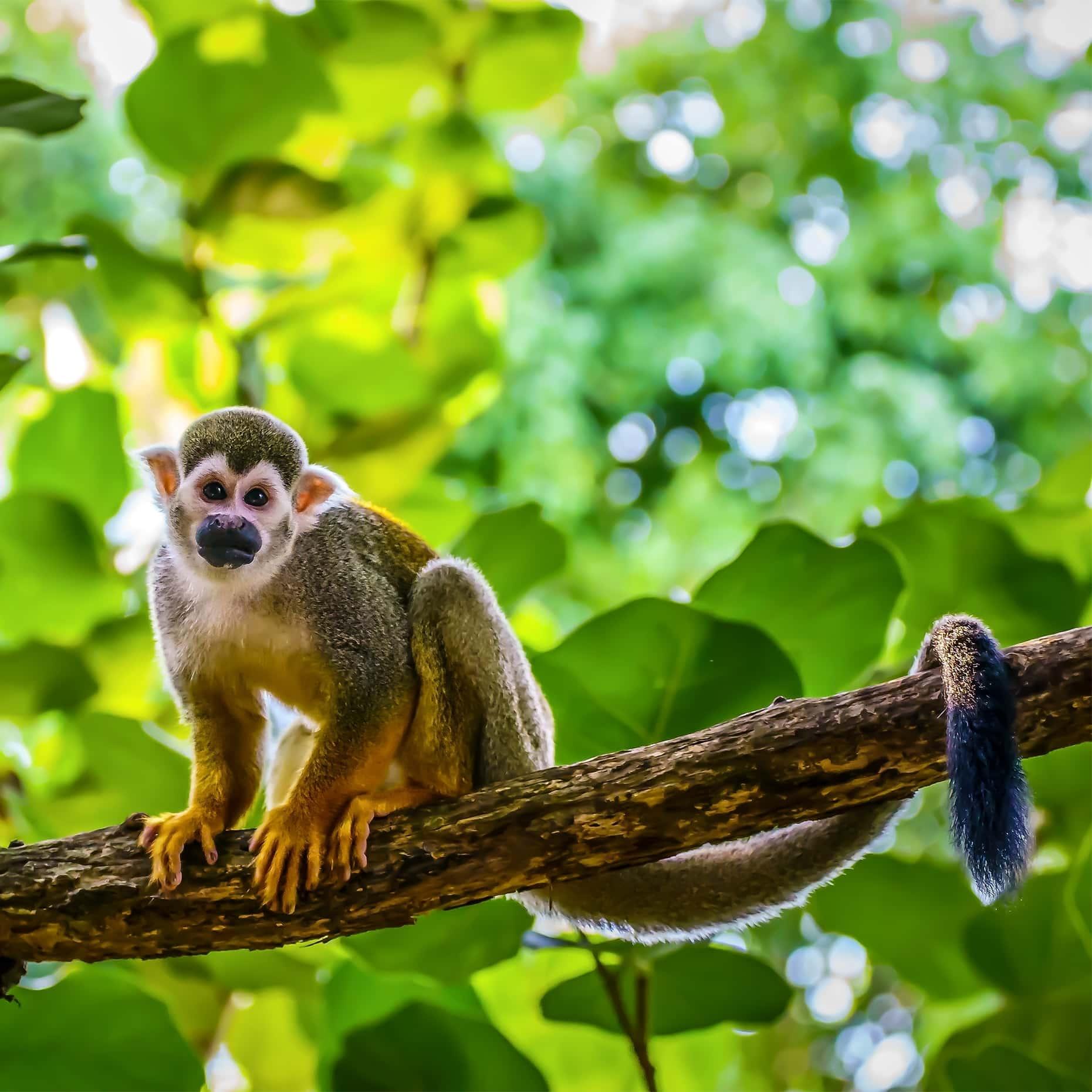 Primaten sind meist das Ziel kommerzieller Jäger, weil es sich bei ihrem Fleisch um ein Luxusgut handelt und sich damit mehr Profit machen lässt