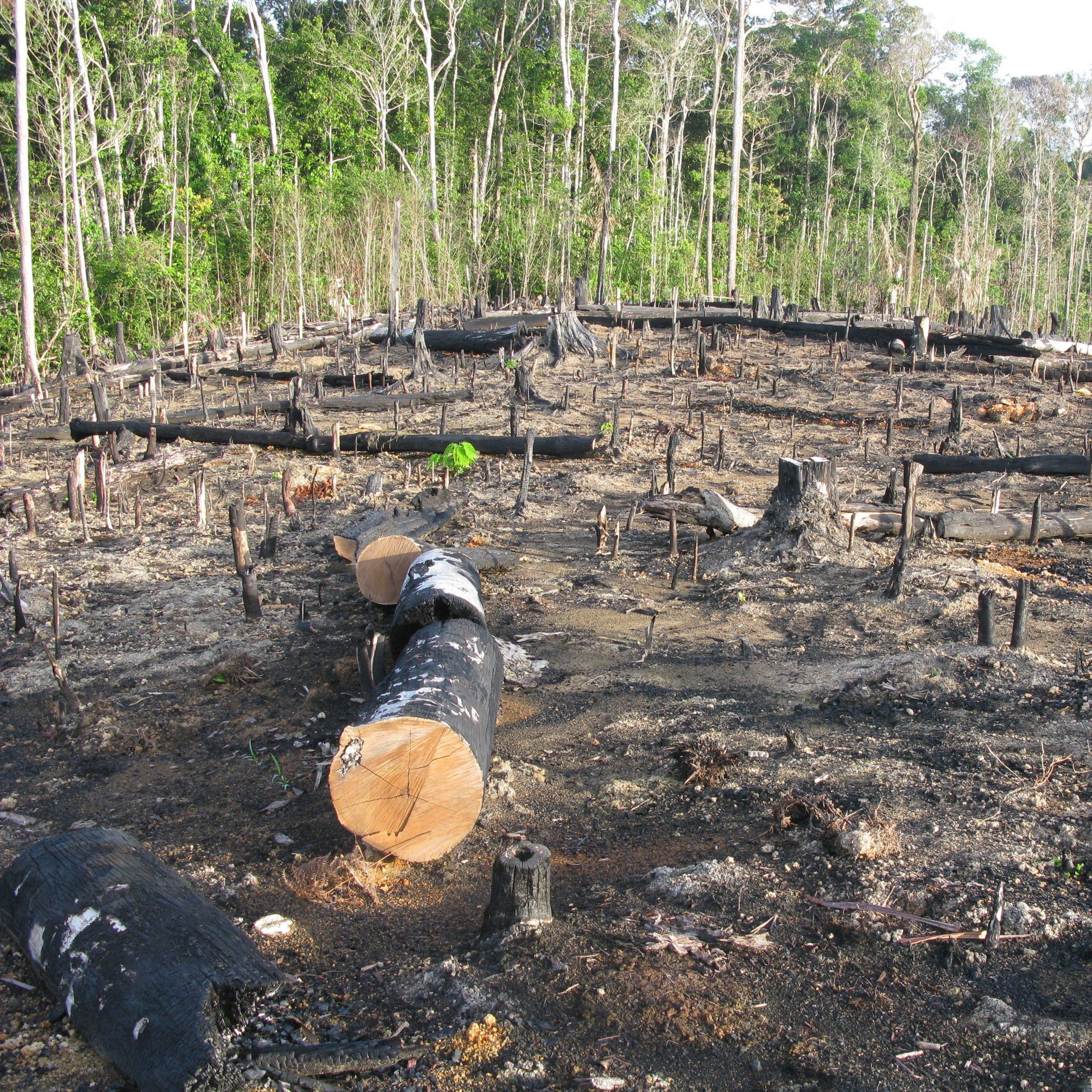 Die Waldrohdung des brasilianischen Regenwaldes soll unter anderem Platz schaffen, um Soja für Nutztiere anbauen zu können