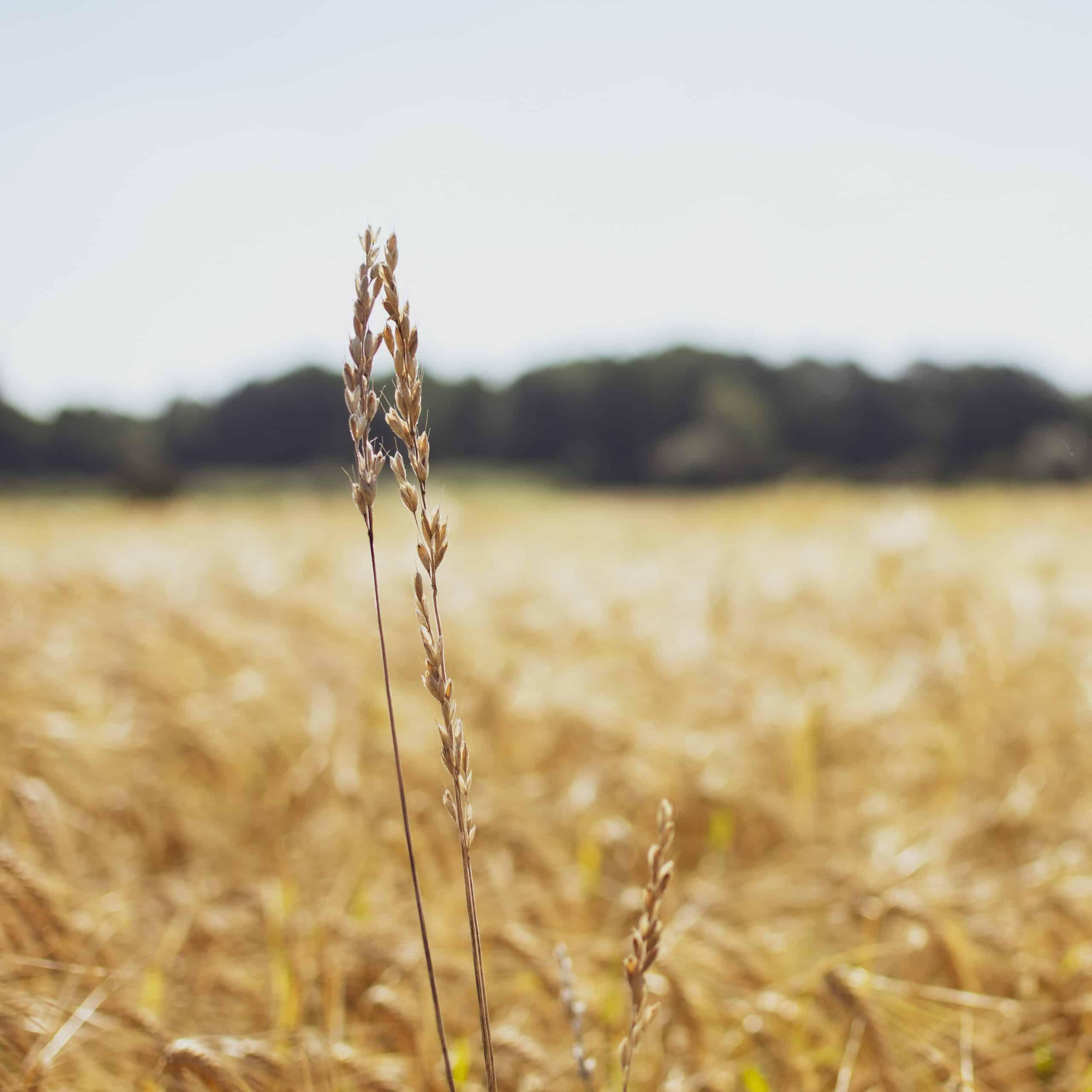 Ob Glutensensitivität, Laktose- und Fruktoseintoleranz oder Allergien, wie beispielsweise gegenüber Eiweiß – die Kritiker fragen sich: Wie kann es sein, dass Lebensmittel, die so lange Zeit die Menschheit ernähren, heute krank machen?
