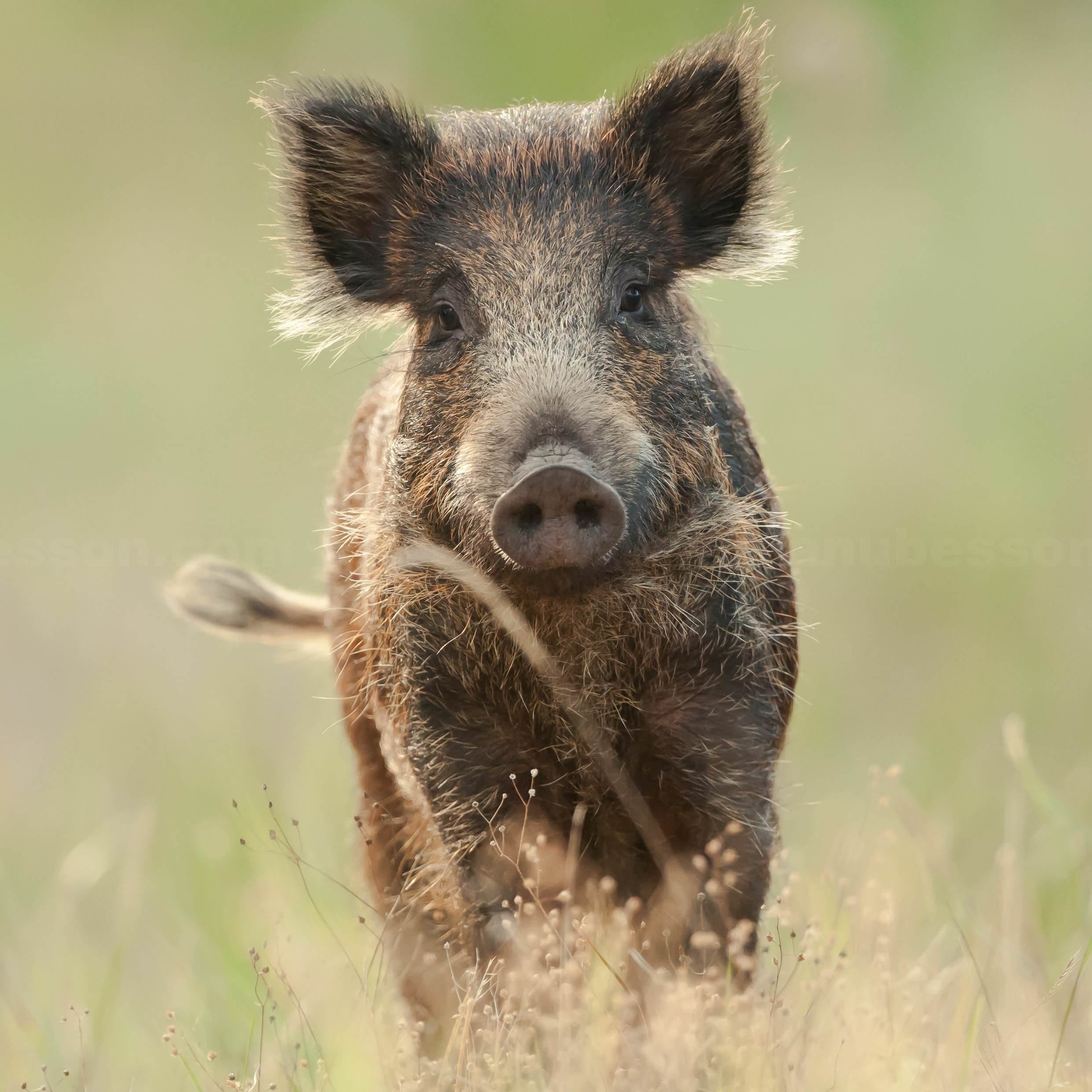 Wildschweine in Brandenburg wurden positiv auf die Afrikanische Schweinegrippe getestet
