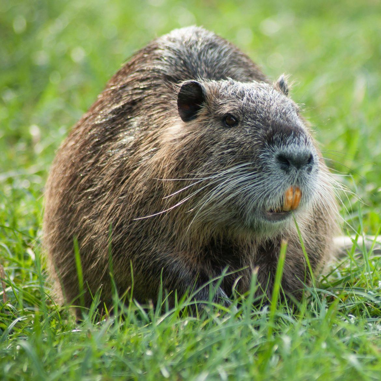Immer wieder siedeln sich gebietsfremde Tierarten in unserer heimischen Natur an und breiten sich aus. Ein Beispiel ist die Nutria.