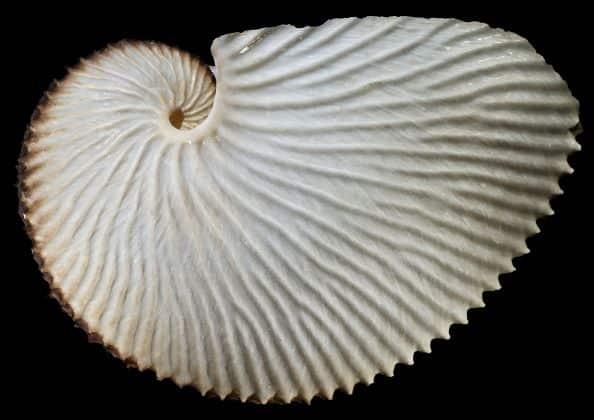 """Der Große Argonaut (Argonauta argo) wurde zur """"Molluske des Jahres 2021"""" im Rahmen eines besonderen """"Weichtier-Wettbewerbs"""" gekürt."""